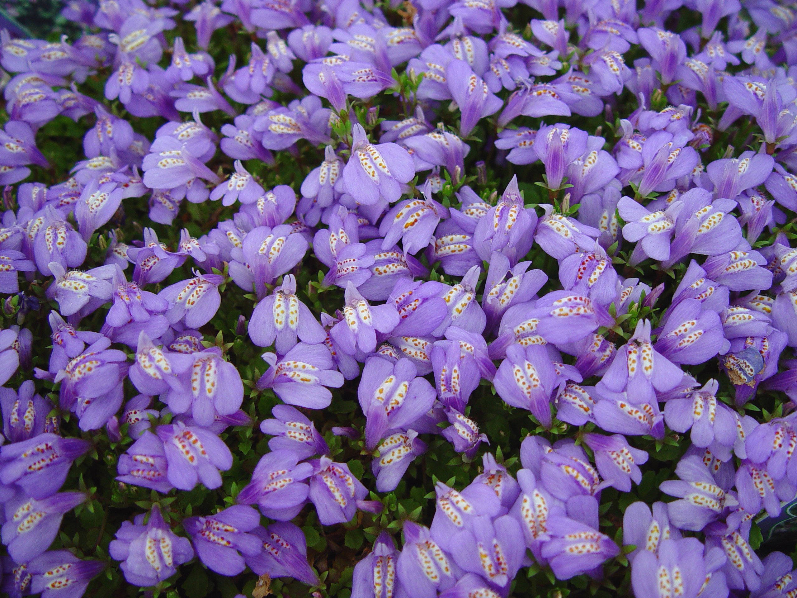 Low growing perennial flowers bing images for Best low growing groundcover for full sun